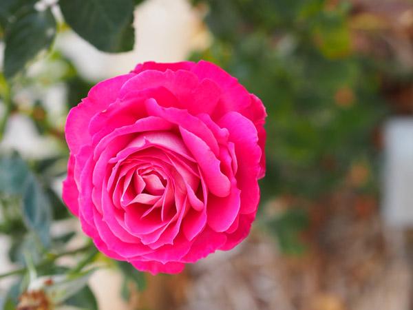 Baronne Edmond de Rothschild Rose