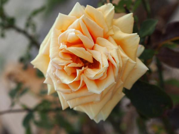 Valencia Rose