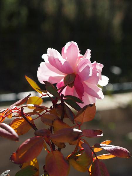 Mortimer Sackler Rose