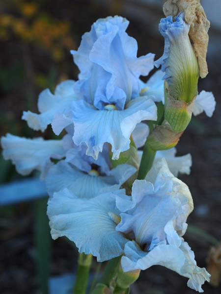 Summertime Blues Iris
