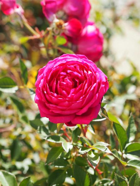 Duftendes Weisskirchen Rose